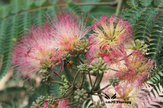 Ladybug in mimosa tree